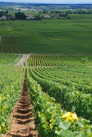 Burgundy : Montrachet vineyard
